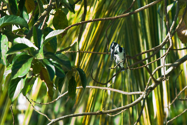 _DSC5296e Pied Kingfisher