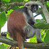 Red Colobus Monkey, Zanzibar