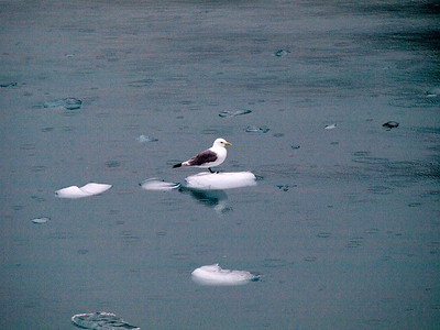 Gull on ice Copyright 2009 Neil Stahl