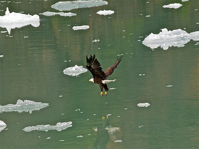 Eagle in Tracy Arm Copyright 2009 Neil Stahl