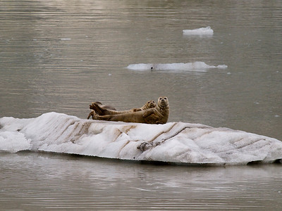 More seals on ice Copyright 2009 Neil Stahl