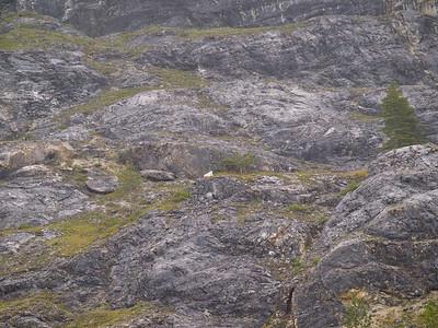 Mountain goat resting Copyright 2009 Neil Stahl