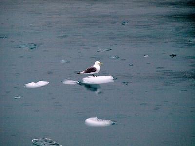 Gull on ice Copyright 2009 Neil Stahl