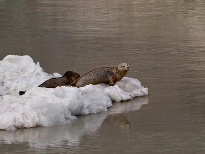 Seals on ice Copyright 2009 Neil Stahl