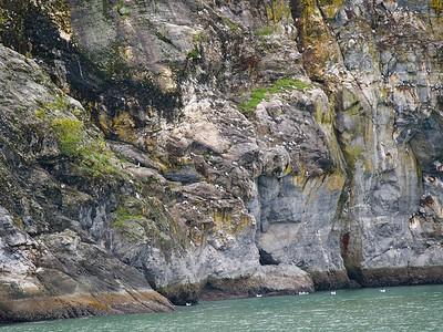 Kittiwakes nest on cliffs Copyright 2009 Neil Stahl