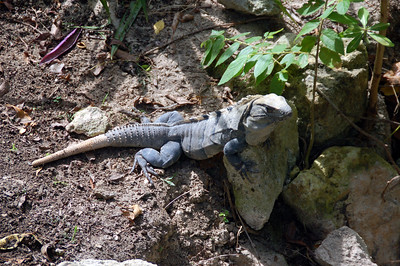 Iguanas  walk around freely this is Jose'