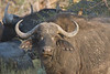 Cape Buffalo with Oxpecker on back