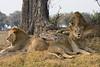 Juvenile Male Lions