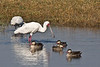 African Spoonbill & Red-Billed Teal