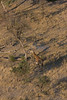 Giraffe from helicopter