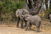 Elephants outside my room at Vumbura Camp