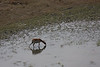 Red Lechwe from helicopter