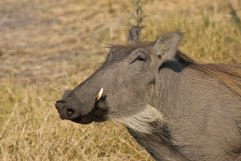 Warthog.   The face only a mother could love.