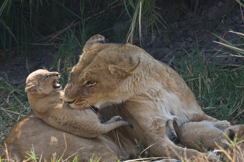 This lion cub wanted to suckle but mom would have none of that.