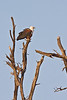 The African Fish Eagle is similar to the Bald Eagle