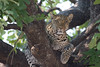 Leopard giving me the eye
