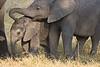 Juvenile & Baby Elephant