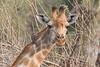 Giraffe & oxpecker