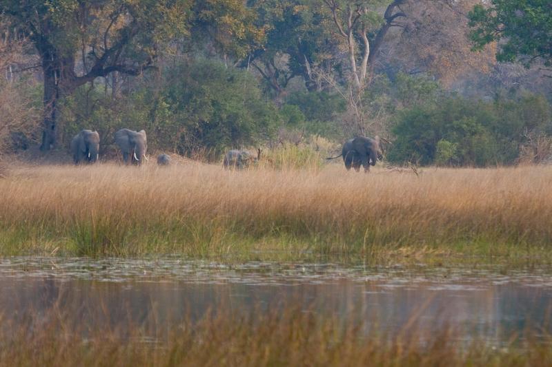 Elephant herd walking to watering hole