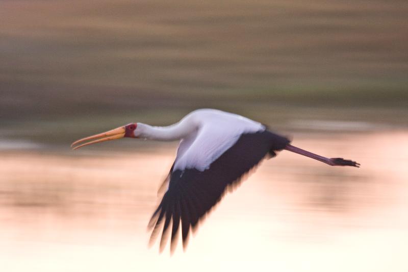 Panning shot of Yellow Billed Stork