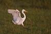 Yellow-Billed Egret landing