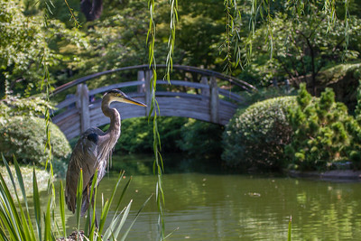 Great Blue Heron with Moonbridge