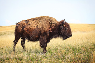 Buffalo on open range in South Dakota