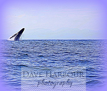 Animal Scene.  Bowhead Whale Surfacing 20 miles off Jama Coast in Ecuador, by Dave Harbour