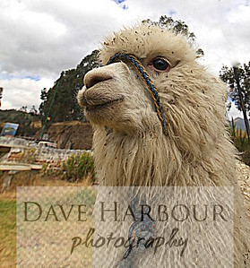 Animal Scenes.  Alpaca - Mira Lago - Ecuador - Photo by Dave Harbour