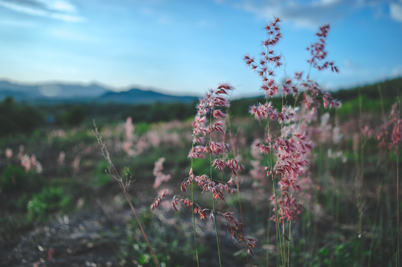 Pink Grass of Pai