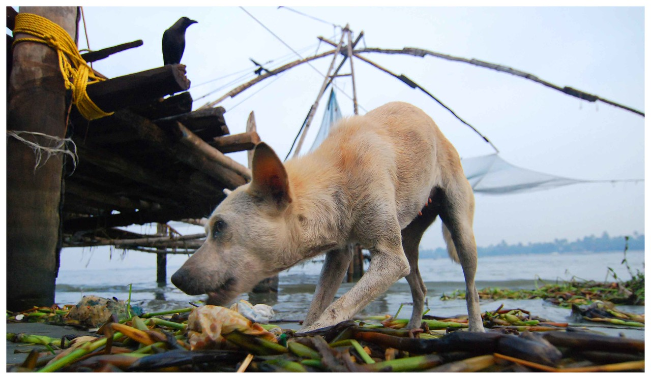 A feral dog scavenges shoreside garbage in Cohin, India.