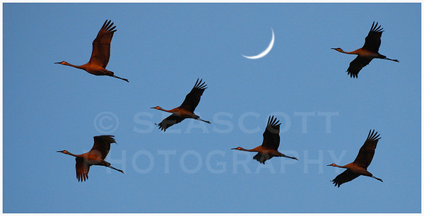 Sandhill Cranes return to their northern nesting grounds in SE Michigan.