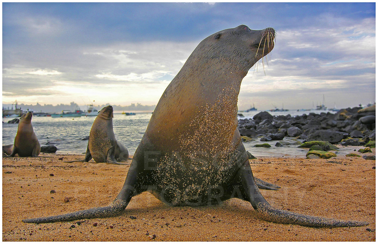 Brazen, barking, brawling, belching, belligerent, bellicose, bad breath beach bums of the Galapagos.