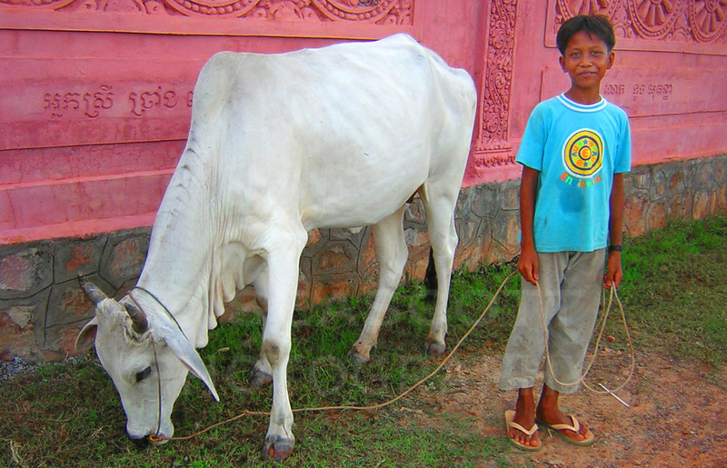 A young cow herd outside the walls of a Buddhist temple in the coastal village of Kampot, Cambodia.