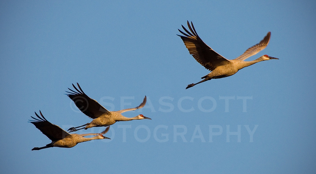 Sandhill cranes over SE Michigan on a late fall afternoon.