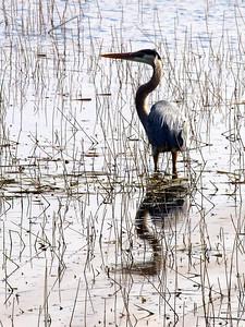 Great Blue Heron  Copyright 2011 Neil Stahl