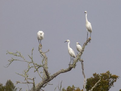 Great Egrets  Copyright 2011 Neil Stahl