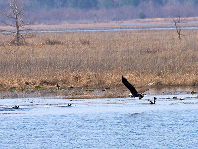 An eagle took a fish in lake Jackson.  Copyright 2011 Neil Stahl