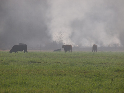 We saw this fire with these unconcerned cows along the road.  A lot of controlled burns were going on; it had recently rained and created a window for burning.  Copyright 2011 Neil Stahl