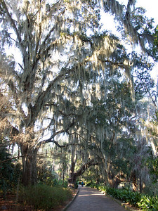 Tree with Spanish moss  Copyright 2011 Neil Stahl