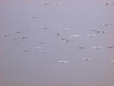 Flock of white ibis  Copyright 2011 Neil Stahl