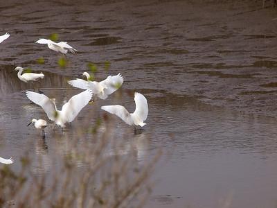 Snowy Egrets leaving.  Copyright 2011 Neil Stahl