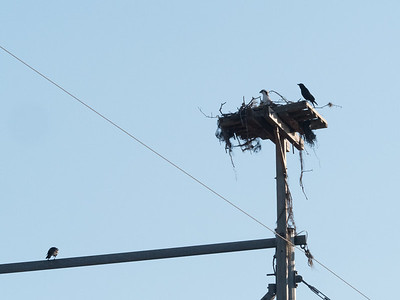 Osprey nest by our Bartow motel