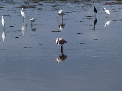 Eyed by a Spoonbill