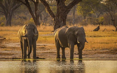 Elephants Never Miss their Sundowners