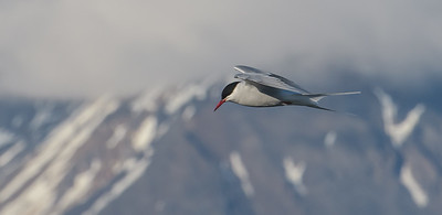 Arctic Tern in Hover