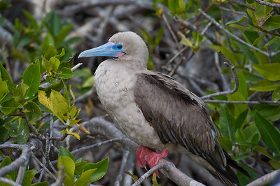 Phase Transition for Red-footed Booby