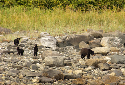 Brown Bear Sow and Cubs Hunt for Shellfish