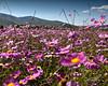Flores_Silvestres#1_101301-361_photo_Ted_Davis_310-430-2639