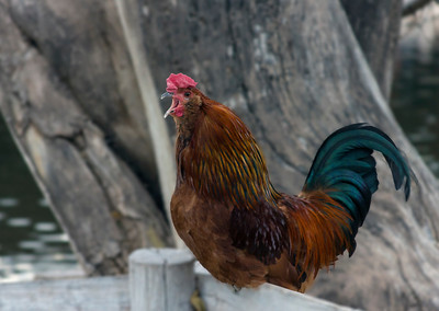 Rooster_MG_3949